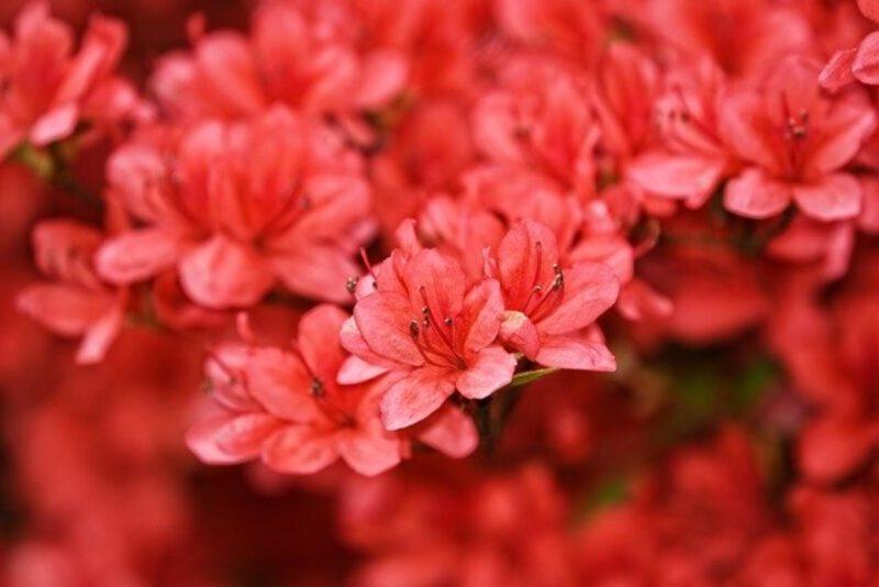 Efektownie kwitnące krzewy