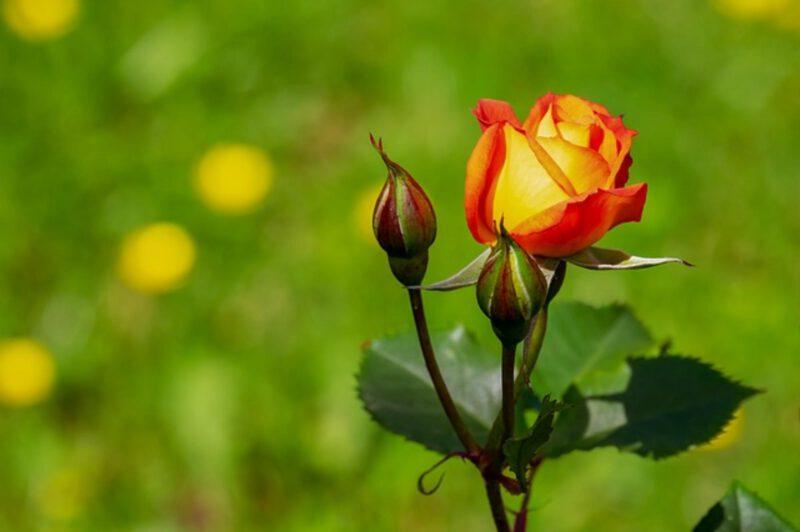 Wiosenne cięcie róż